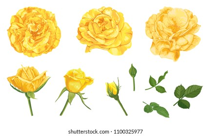 Yellow roses with bud and leaves on white background. Vector set of blooming flower for advertising, packaging, holiday invitations, greeting card and fashion design.
