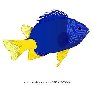 Yellowtail Damselfish illustration