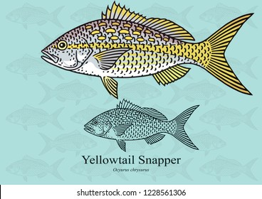 Yellowtail Snapper, Rubia. Vector illustration with refined details and optimized stroke that allows the image to be used in small sizes (in packaging design, decoration, educational graphics, etc.)