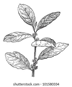 Yerba Mate or Ilex paraguariensis, vintage engraved illustration. Dictionary of Words and Things - Larive and Fleury - 1895