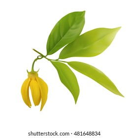 Ylang-ylang flower with leaf isolated on white background,vector illustration