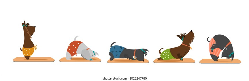 Yoga posess/ scottish terrier in colourful pants doing yoga/ Yoga with scottie