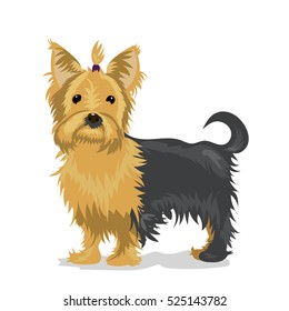 yorkshire terrier dog at one color background
