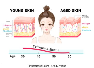 Young and aged skin. Collagen in younger and older skin. collagen in younger and older skin.