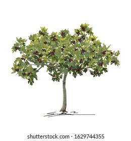 Young fig tree (Ficus carica L.) with mature fruit in summer, colored vector image on white background