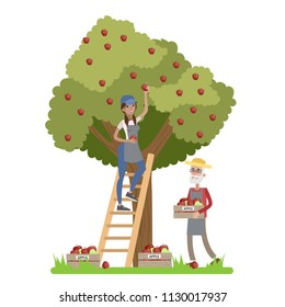 Young happy female farmer standing on the ladder and picking red apples from a huge apple tree. Old farmer collecting apples in a box. Summer in the countryside. Isolated vector flat illustration