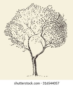 Young olive tree illustration, vector, hand drawn