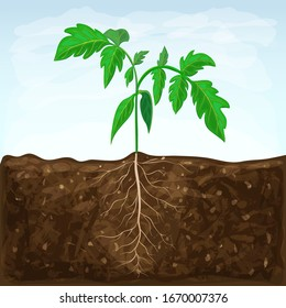 young seedling of vegetable grows in fertile soil. sprout with underground root system in ground on blue sky background. green shoot vector illustration. spring sprout of healthy tomato plant.