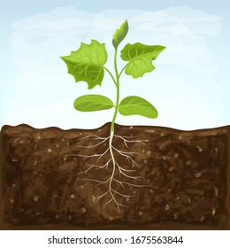 young seedling of vegetable grows in fertile soil. sprout with underground root system in ground on blue sky background. green shoot vector illustration. spring sprout of healthy cucumber plant.