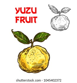 Yuzu citrus fruit sketch icon. Vector isolated symbol of fresh whole Asian or Chinese and Japanese yuzu pomelo or junos yuya grapefruit for fruits dessert or farmer market and botanical design