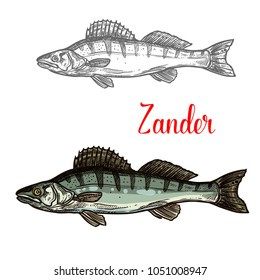 Zander fish sketch icon. Vector isolated symbol of zander fish freshwater species of perch for seafood restaurant or fish food and fishing market or zoology design template