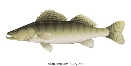 "Zander Perch (Sander lucioperca) Freshwater Fish ""Full compatible Vector. Created with gradients."""