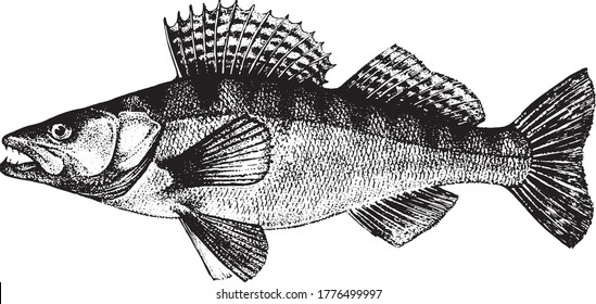 Zander, Pike-perch, Fish collection. Healthy lifestyle, delicious food. Hand-drawn images, black and white graphics.