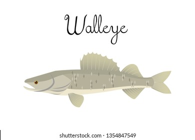 Zander or walleye river fish with name subscription . Zander isolated on white background. Big predatory fish walleye. Vector illustration