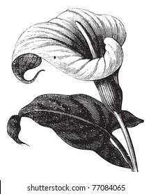 Zantedeschia aethiopica also known as Richardia Africana, flower, vintage engraved illustration of Zantedeschia aethiopica, flower, isolated against a white background. Trousset encyclopedia.