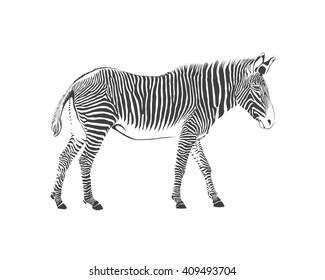 zebra animal, vector black and white illustration