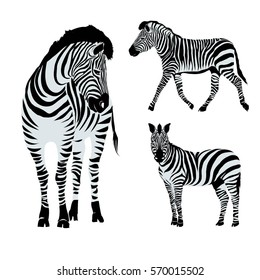 Zebra animal - vector, illustration