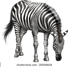 zebra bent down eating grass . Vector isolated on white background