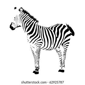 Zebra. Black stripes on white background