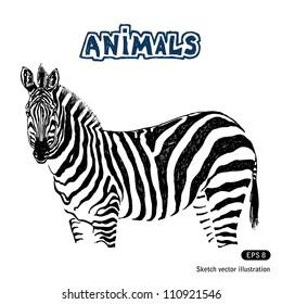 Zebra. Hand drawn sketch illustration isolated on white background