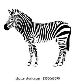 Zebra hand drawn vector illustration. Wild animal