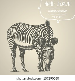 Zebra. Hand drawn vector illustration. Can be used separately from your design.