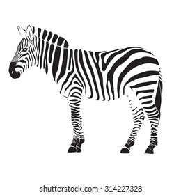 zebra illustration vector on white background