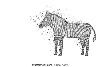 Zebra low poly design, African animal abstract geometric image, zoo wireframe mesh polygonal vector illustration made from points and lines on white background