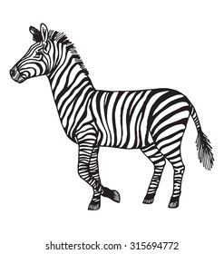 Zebra vector illustration.