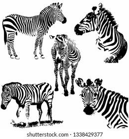 Zebra vector illustration. Set. Collection. Wild animal