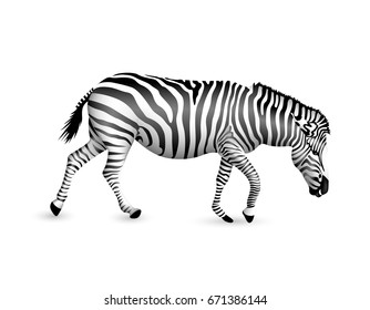 Zebra walking and bend down.  Wild animal texture. Striped black and white. Illustration isolated on white background.