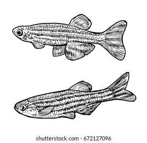Zebrafish illustration, drawing, engraving, ink, line art, vector