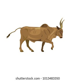 Zebu bull walking. Vector illustration isolated on white background