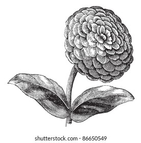 Zinnia or Zinnia elegans or Common zinnia or Youth-and-old-age, vintage engraving. Old engraved illustration of Zinnia isolated on a white background. Trousset encyclopedia (1886 - 1891).