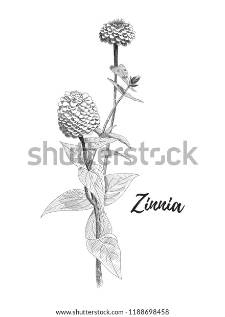 Zinnia Flower Drawing Black White Line Stock Vector Royalty Free 1188698458