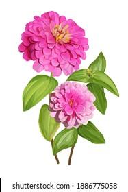 Zinnia flower  isolated vector illustration
