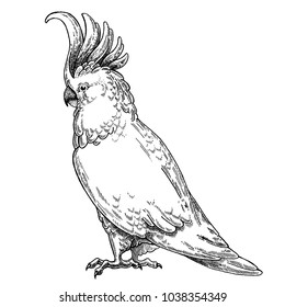 Zoo. African fauna. Cockatoo, bird, parrot. Hand drawn illustration for tattoo design, emblem, badge, t-shirt print. Engraving of wild animal. Classic vintage style image.
