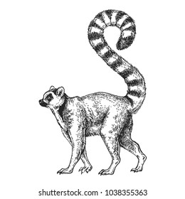 Zoo. African fauna. Lemur, madagascar. Hand drawn illustration for tattoo design, emblem, badge, t-shirt print. Engraving of wild animal. Classic vintage style image.