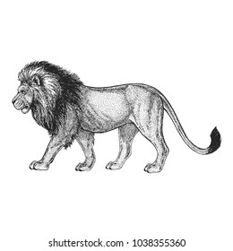 Zoo. African fauna. Lion, wild cat. Hand drawn illustration for tattoo design, emblem, badge, t-shirt print. Engraving of wild animal. Classic vintage style image.