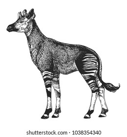 Zoo. African fauna. Okapi. Hand drawn illustration for tattoo design, emblem, badge, t-shirt print. Engraving of wild animal. Classic vintage style image.