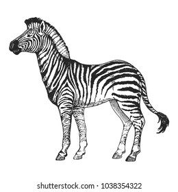 Zoo. African fauna. Zebra horse. Hand drawn illustration for tattoo design, emblem, badge, t-shirt print. Engraving of wild animal. Classic vintage style image.