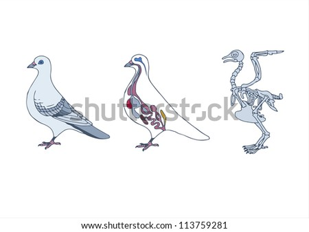 Zoology Anatomy Bird Crosssection Skeleton Stock Vector (Royalty ...