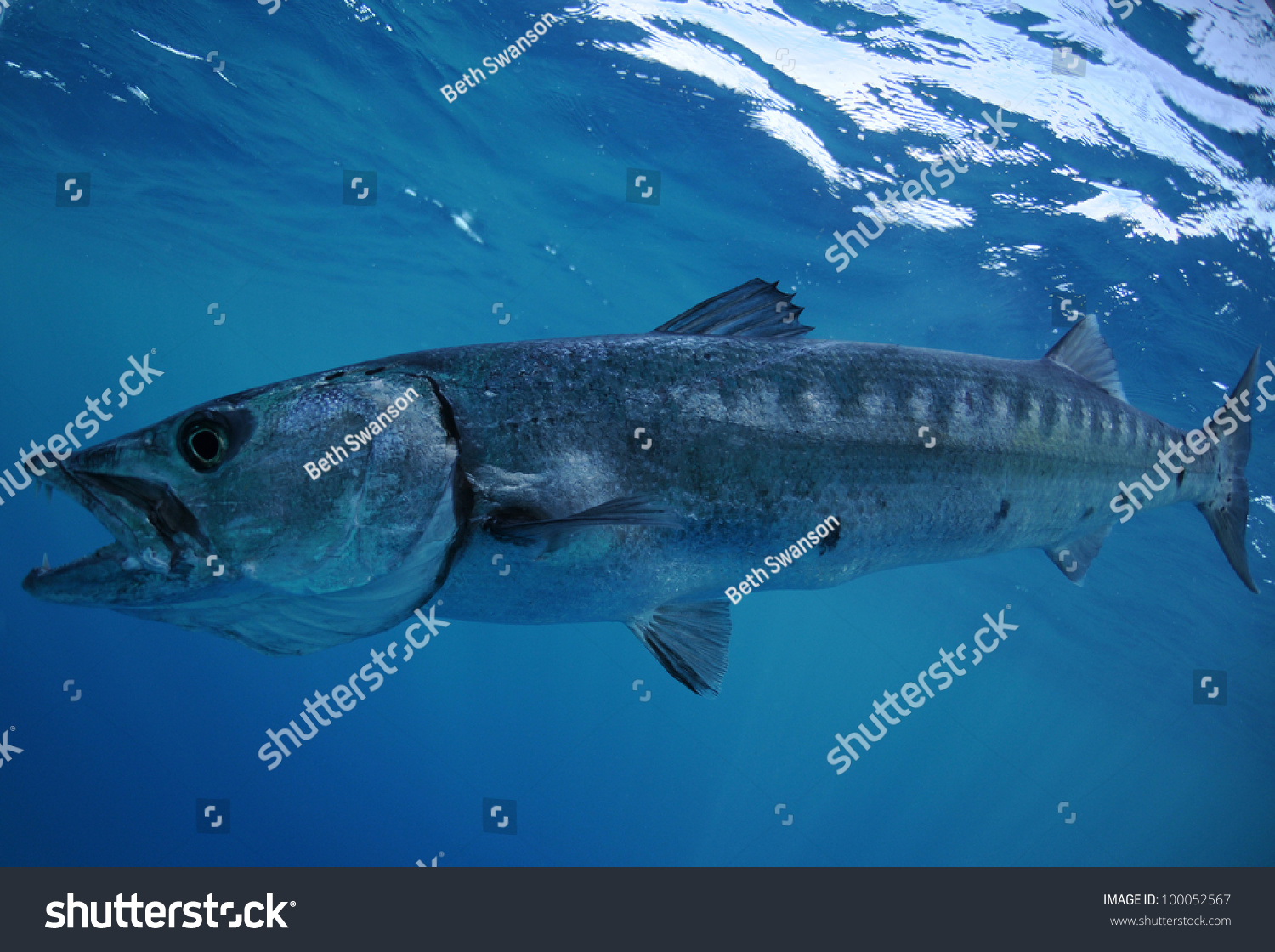 Barracuda Fish Underwater Teeth Showing Stock Photo ...