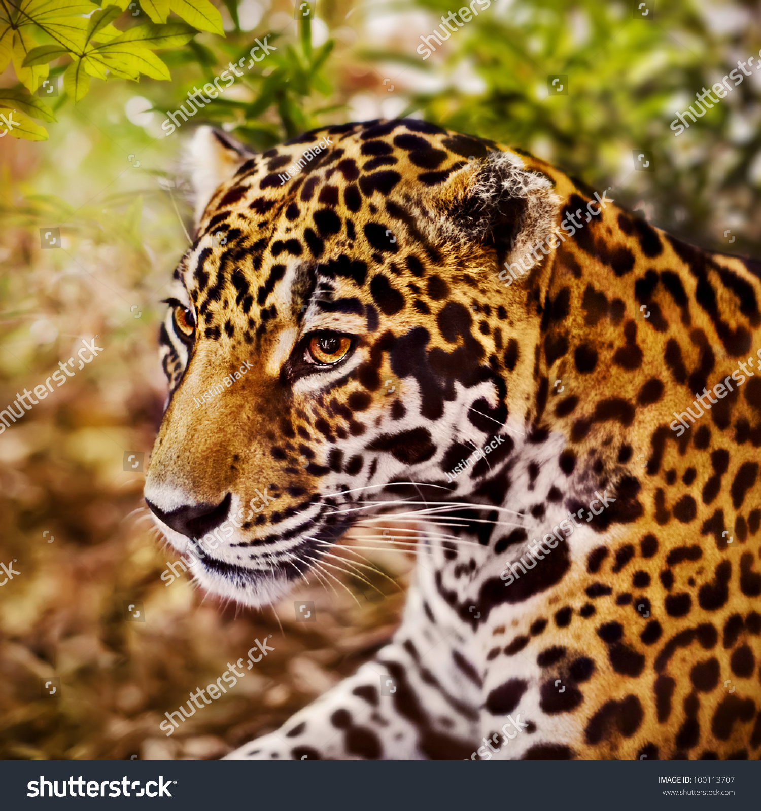 Panthera Onca Stock Images: Jaguar, (Panthera Onca) Stock Photo 100113707 : Shutterstock