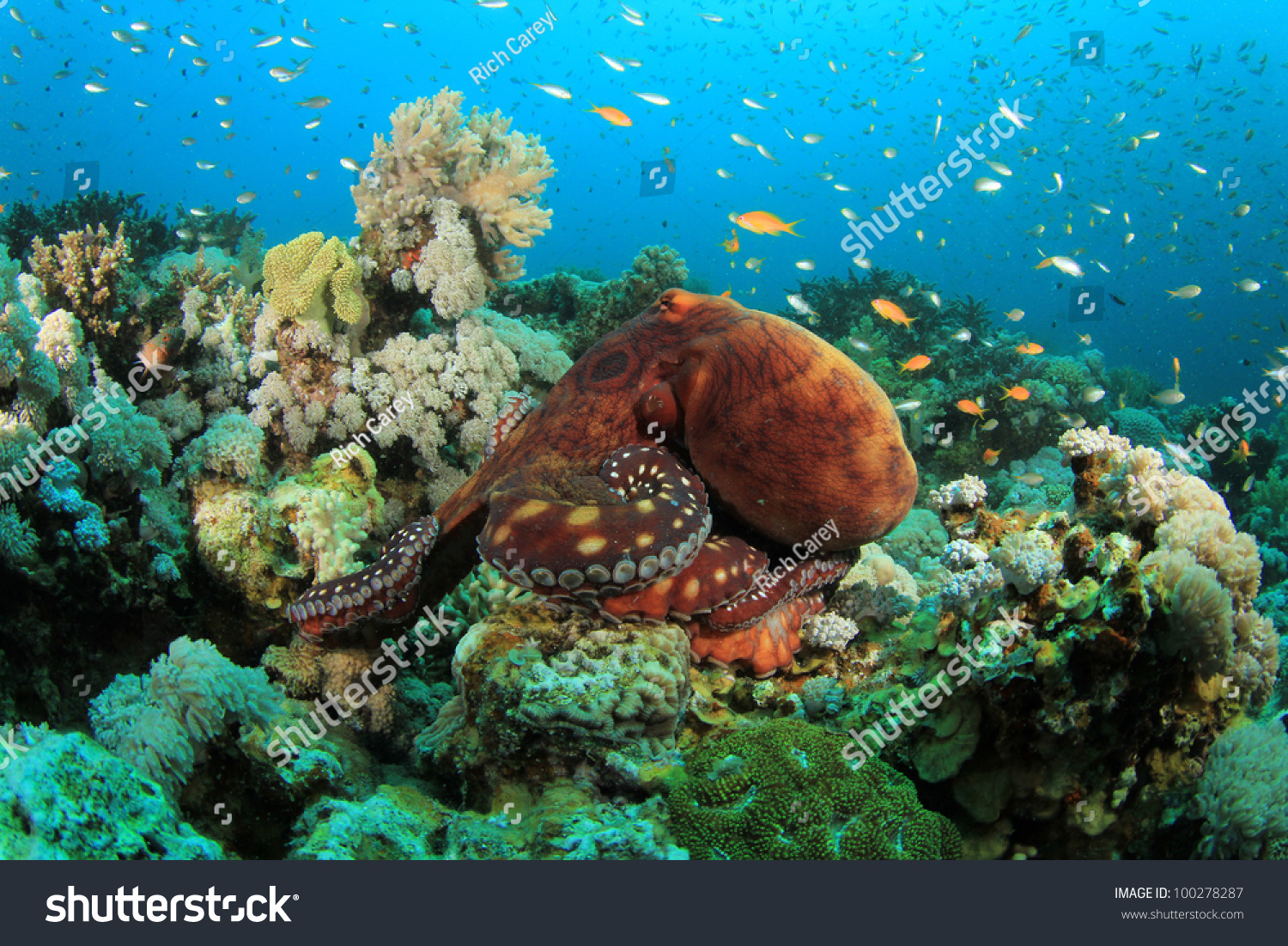 Octopus On Coral Reef Stock Photo 100278287 - Shutterstock