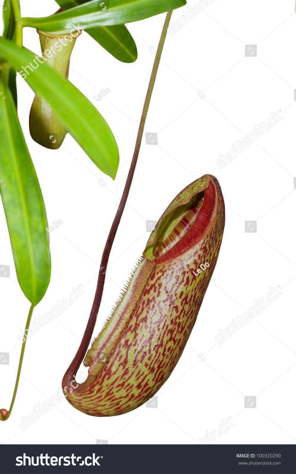 Trap Flower Plant Anatomy Nepenthes Pitfall Stock Photo (Royalty ...