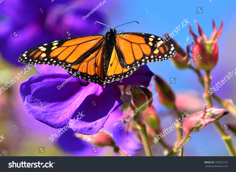 closeup monarch butterfly on purple flower stock photo 100322732