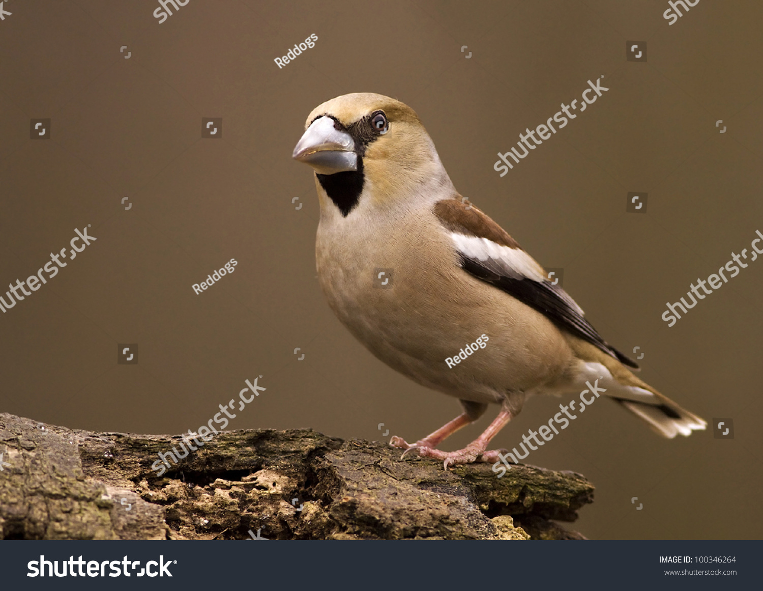 Hawfinch bird coccothraustes coccothraustes sitting on stock photo haw finch bird coccothraustes coccothraustes sitting on a wood biocorpaavc