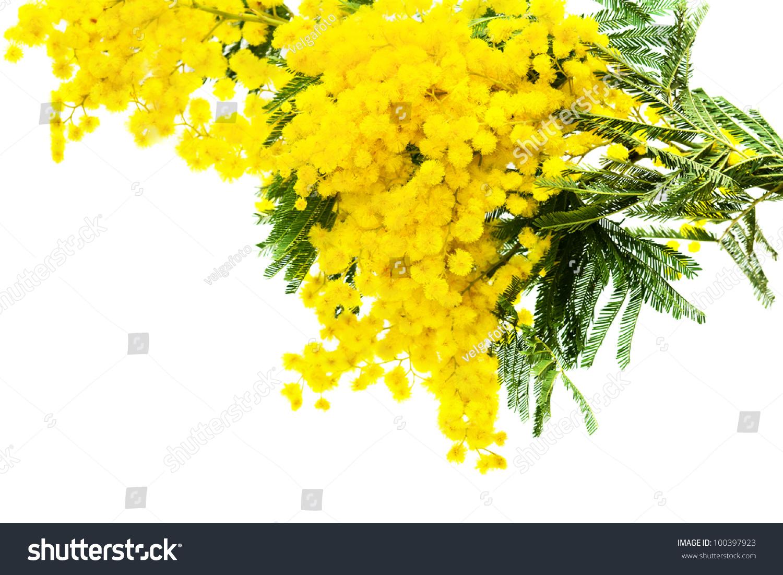 Yellow Mimosa Flower On White Background Stock Photo Edit Now