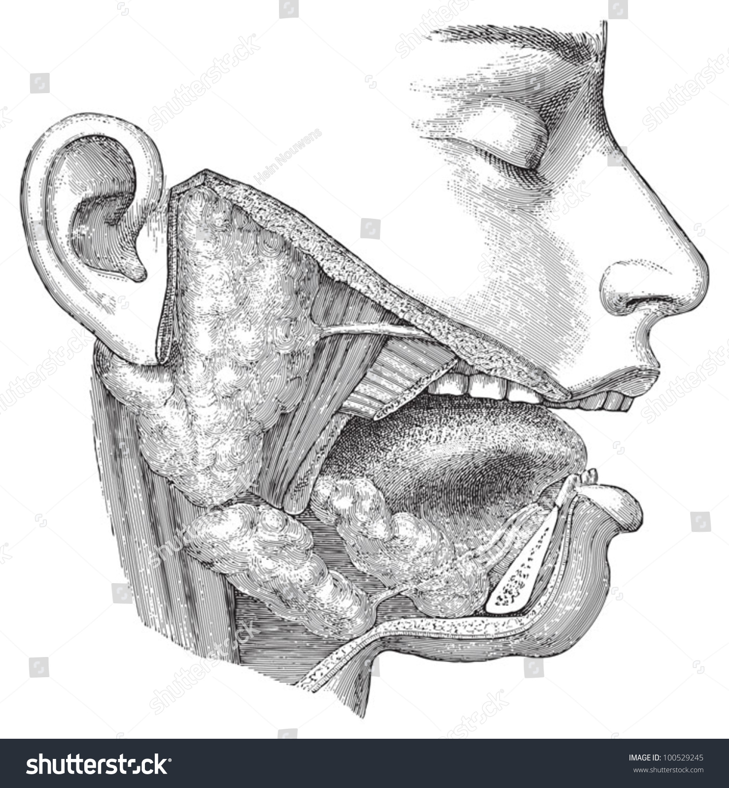 Human Head Anatomy Nose Mouth Throat Stock Vector (Royalty Free ...